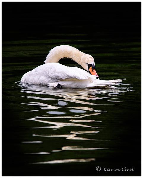 swan biting tail sm.jpg