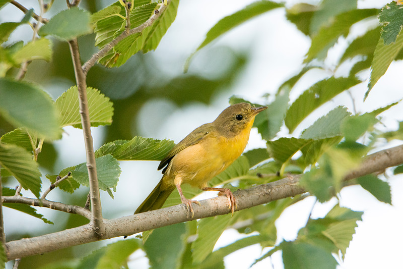 Common Yellowthroat (Juv) - Juvenile identified by behavior.