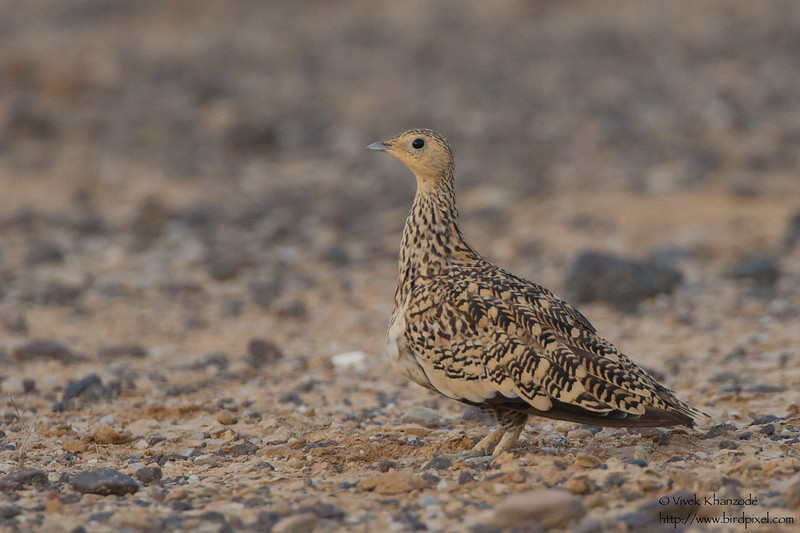 Chestnut-bellied Sandgrouse - Kutch, Gujrat, India