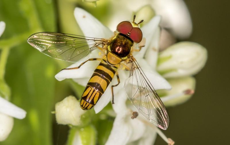 Syrphid Fly - Allograpta obliqua