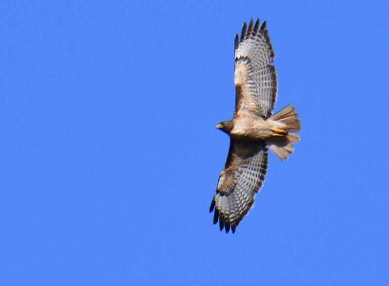 Red-tailed Hawk  - 4/28/2019 - Lake Hodges Bernardo Bay Trail