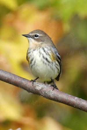 Warbler, Yellow-Rumped [Myrtle]