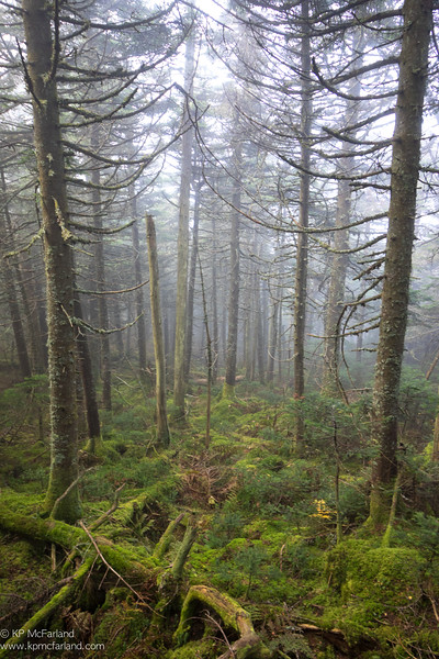 Montane fir forest in the clouds.