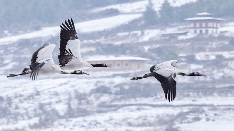 Black-necked-cranes-flight-1.jpg