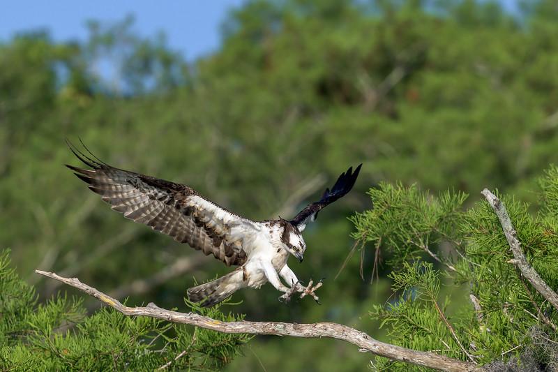2021_KSMetz_Florida_Osprey Trip_April08 and 09_NIKON D850_6557.jpg
