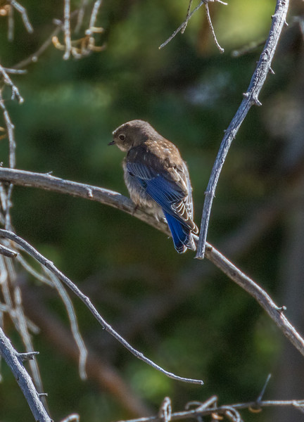 Grand Canyon North Rim Western Bluebird
