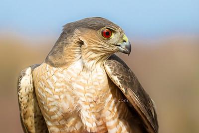 Hawk Blind Banding