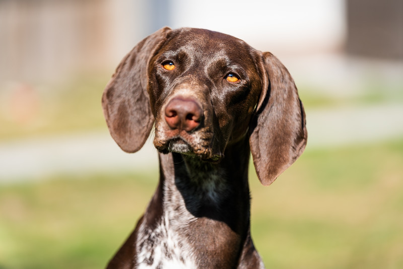 German Shorthaired Pointer close up, taken in Hampshire, UK by MIL Pet Photography. Copyright is Millers Image Limited. Dog Photographer is Chris Miller.