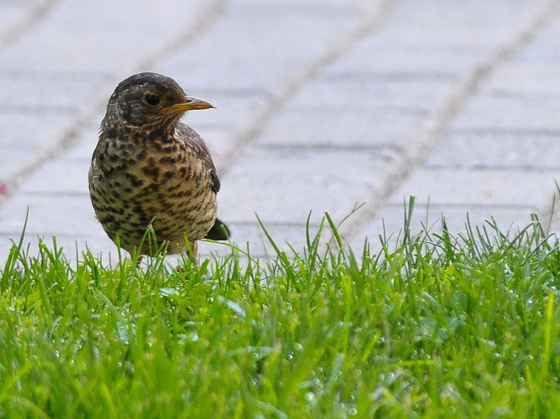 ub austral thrush juv side face.jpg