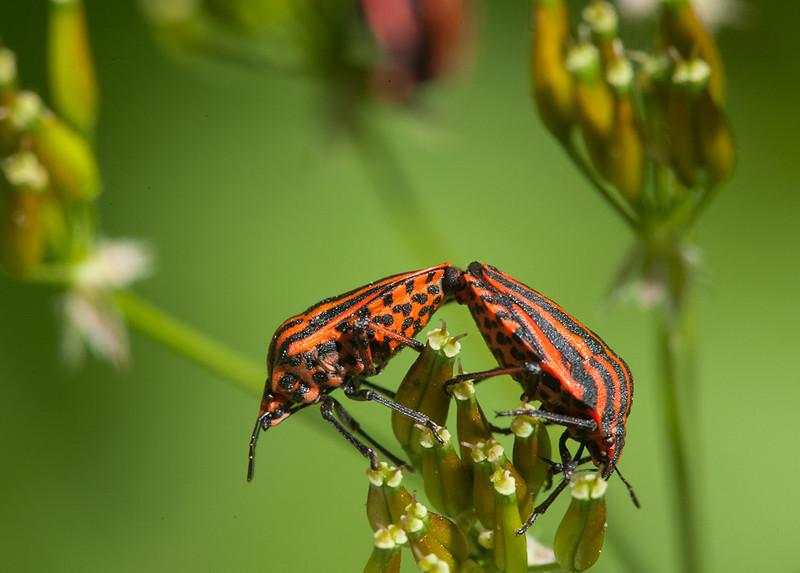 Italian Striped-Bug (graphosoma lineatum) mating.