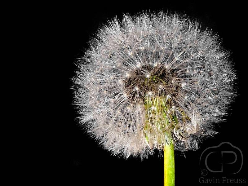 Dandelion_in_Black.jpg