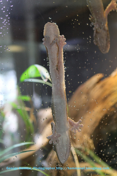 The chameleons have amazing gripping power, visible through the glass.