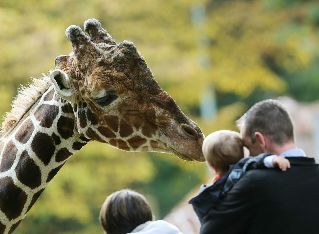 """. 10. (tie) GIRAFFES <p>Ain�t they a kick in the head? (previous ranking: unranked) </p><p><b><a href=\""""http://www.latimes.com/nation/nationnow/la-na-nn-ff-woman-smacked-by-giraffe-wisconsin-zoo-20140817-story.html\"""" target=\""""_blank\""""> LINK</a></b> </p><p>    (Roland Weihrauch/AFP/Getty Images)</p>"""