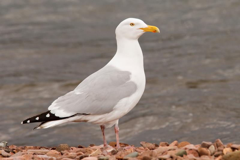 Gull - Herring - Grand Marais, MN - 01