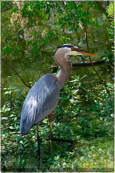 blue heron 2.jpg