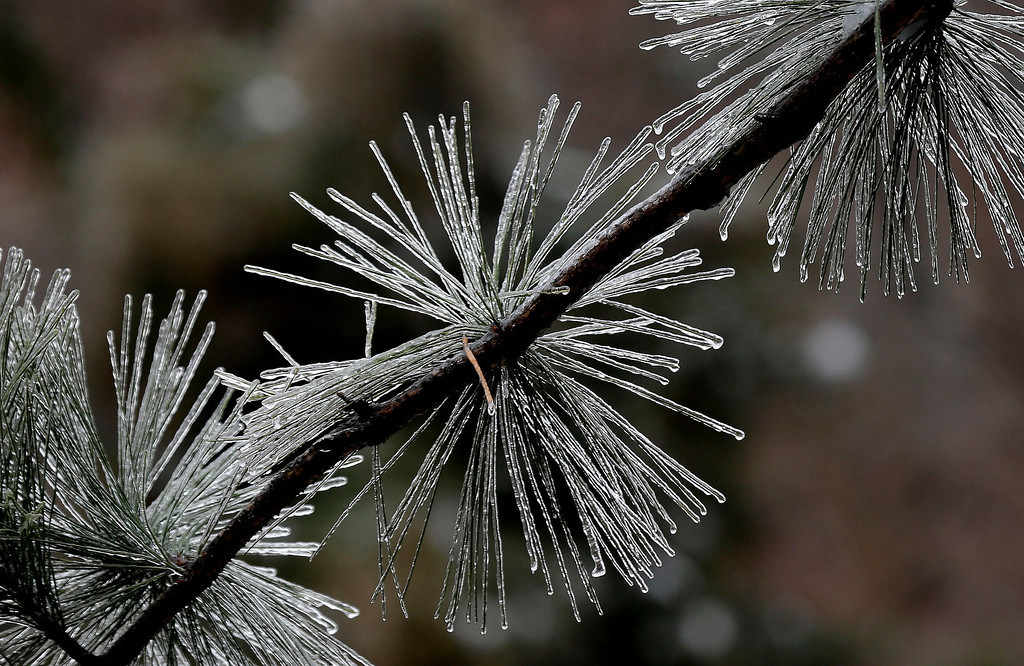 . Ice coats pine needles following a snow and ice storm in Chapel Hill, N.C., Thursday, Feb. 13, 2014. The National Weather Service issued a winter storm warning lasting into Thursday covering 95 of the state\'s 100 counties. (AP Photo/Gerry Broome)