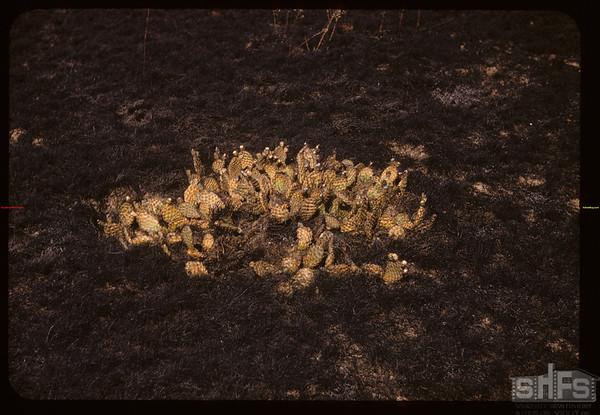 Fire burned cacti. Consul. 08/19/1955.
