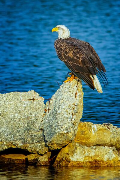 4.3.21 - Beaver Lake Fish Nursery - 4 year old Bald Eagle