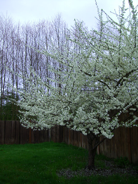 This is the tree in the backyard. I think it's a flowering plum, but am not positive. It has beautiful blossoms early every spring. 3.24.2007