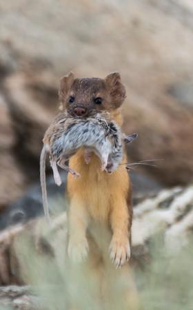 Weasels, Otters, Skunks, Badgers