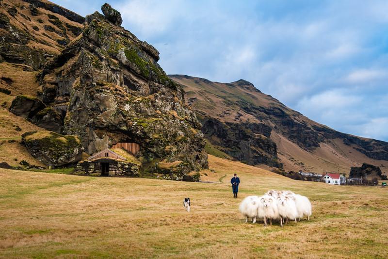 Icelandic-Sheep.jpg