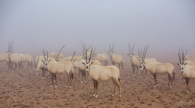 Arabian Oryx (46).jpg