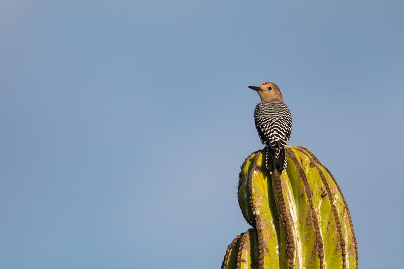 Gila Woodpecker - Baja California, Mexico