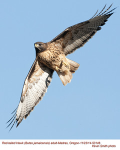 Red-Tailed Hawk A53146.jpg