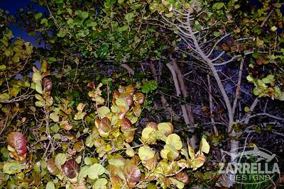 """""""Sea Grapes at Twilight"""" (Dania Beach, Florida)"""