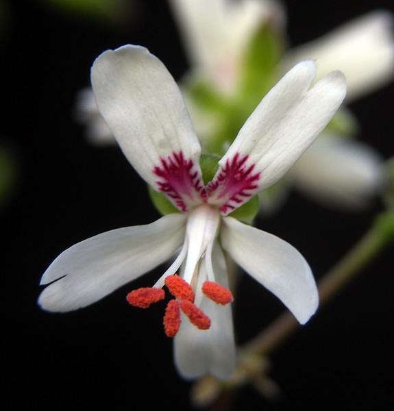 Pelargonium laxum flower