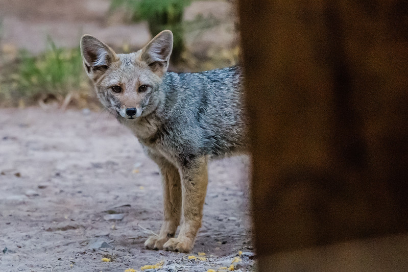 Explora Travesia Salta to San Pedro de Atacama Argentina Fox
