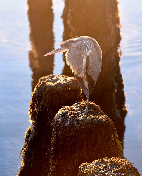 Cold Blue Heron.jpg