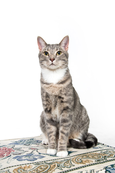 Cute adult cat on white