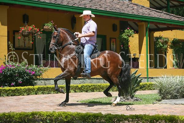 Favorito de Palo Santo-saddle (Trote y Galope)
