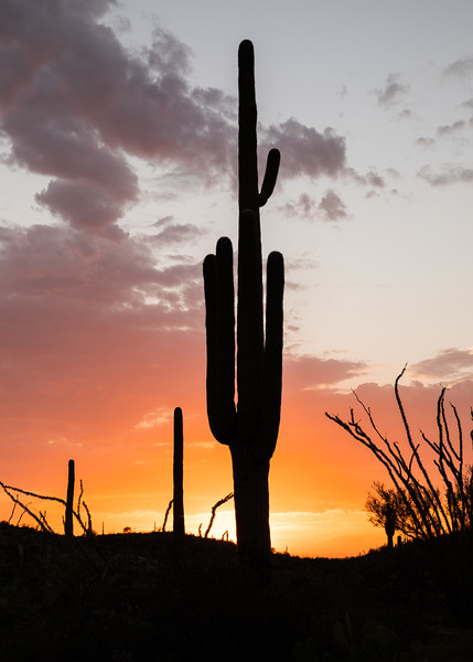 WVWS_Saguaro Cactus-4438.jpg