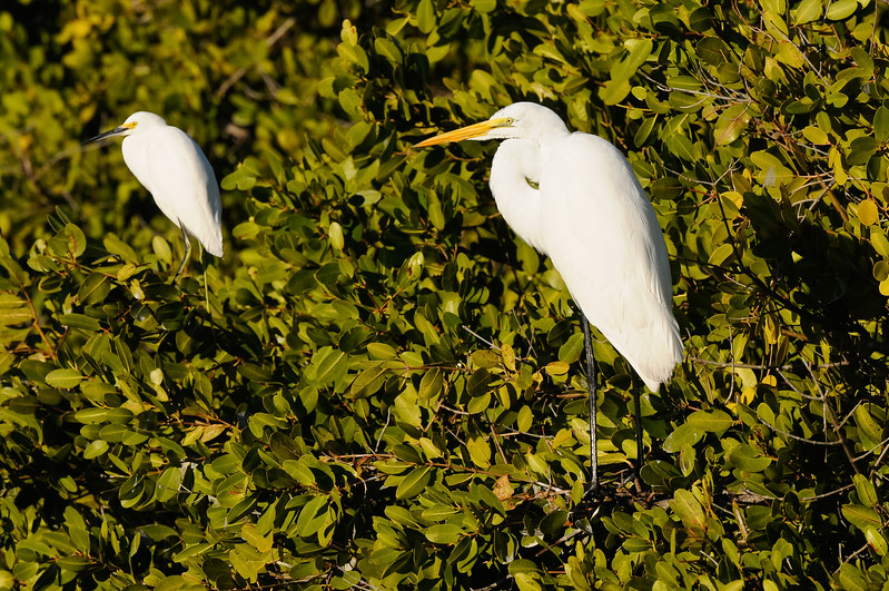 Snowy and Great Egret
