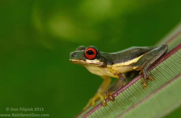 Treefrogs and the like (Hylidae)- Central America