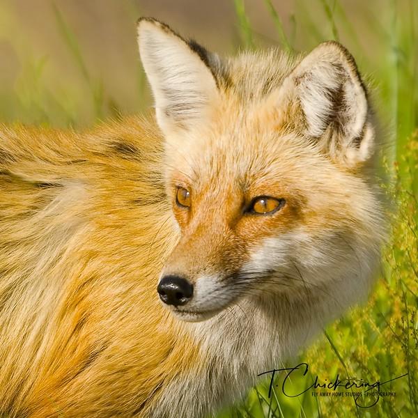 Red Fox Portrait 2 square crop-1505695796695.jpg