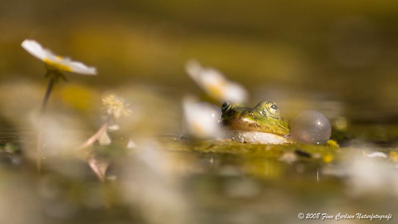 Grøn frø - Pelophylax esculentus - Edible frog
