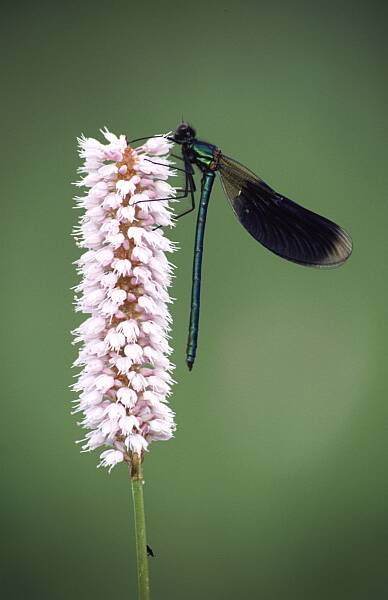 Banded Demoiselle, Calopteryx splendens