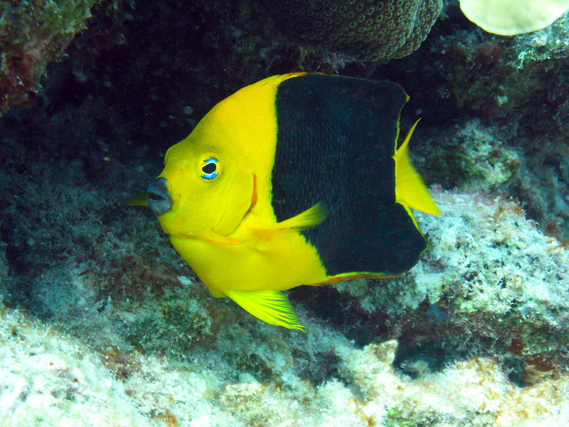 """""""R"""" is for Rock Beauty.  Taken while scuba diving in the Cayman Islands."""