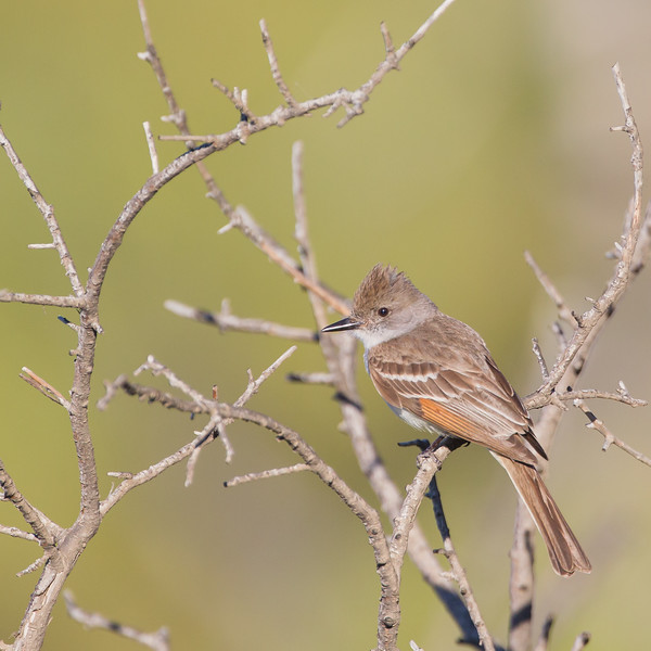 Ash-throated Flycatcher - Loma Prieta Ave., Santa Cruz Mountains, CA, USA