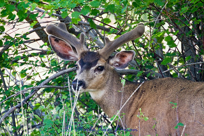 Mule deer buck in velvet Bison Range 2012