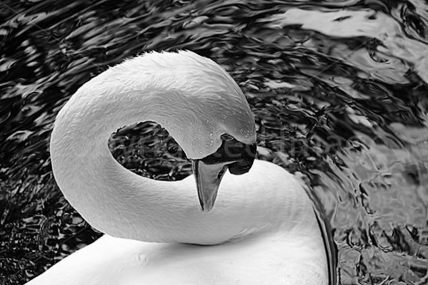 Soulful Swans