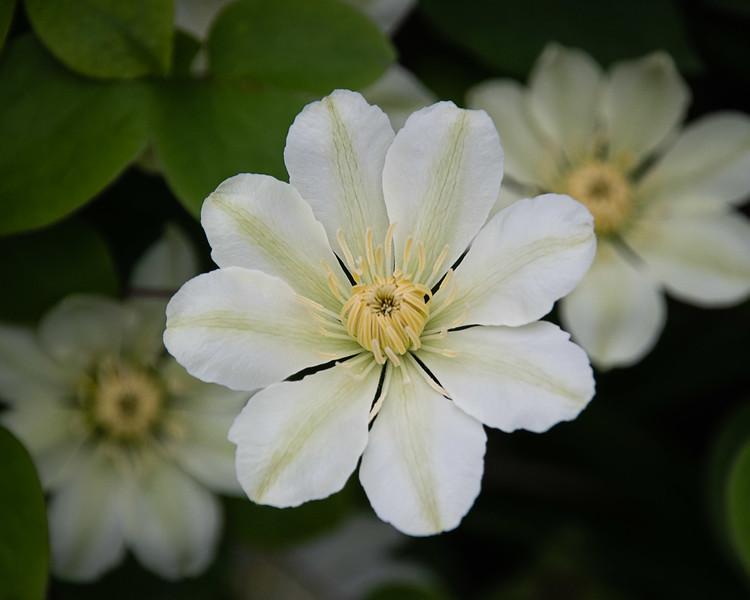White Clymatis 4