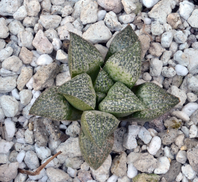 Haworthia magnifica hybrid