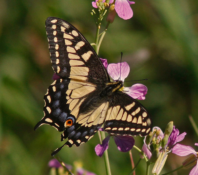 Anise Swallowtail on wild radish (backyard)