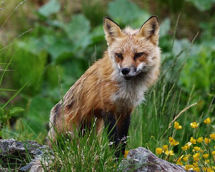 Humber Valley Resort, Newfoundland, Red Fox
