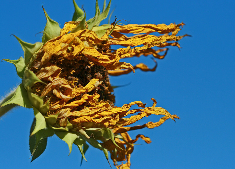 dried sunflower.jpg