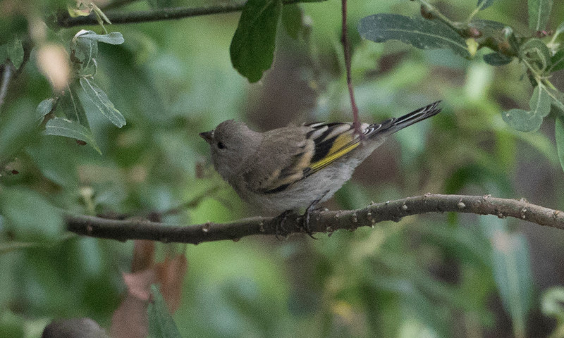 Lawrence's Goldfinch adult female. Grayish overall with yellow wing bars